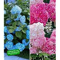 suchergebnis auf f r pflanzen blau hecken str ucher garten balkonpflanzen. Black Bedroom Furniture Sets. Home Design Ideas