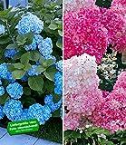 BALDUR-Garten Winterhart Hortensien-Sortiment Hydrangea blau und rosa, 2 Pflanzen Freiland-Hortensie 'Vanille Fraise und Bauern-Hortensie 'Générale Vicomtesse de Vibraye'