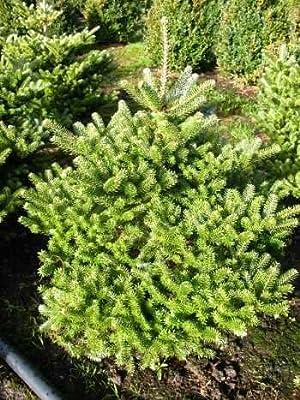 Zwerg Korea Tanne Abies koreana Molli 70 cm hoch mit Ballen von Plantenwelt Wiesmoor bei Du und dein Garten