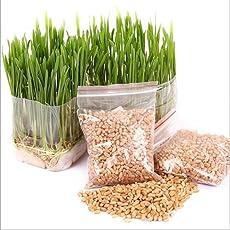 Handfly Premium Katzengras Samen Mini Bio Gras Grass Kit Pflanzensamen Hausgarten Bio Weizen Gras Pflanze Wachsen Weizengras für Haustiere: Hund, Katze, Vogel, Kaninchen