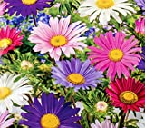 """Aster""""Madeleine"""" - mix di fiori singoli - 500 semi"""
