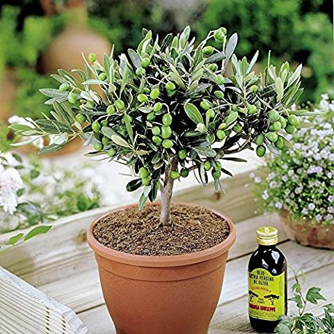 Olivia Europeana Olive tree - Small but mature with thick stem - ideal small gift