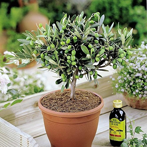 Olive trees for Olive trees in pots winter care