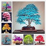 Baumsamen 20 Ahornsamen japanische Ahornsamen Balkonpflanzen für Hausgarten blau Ahornbaum Bonsai