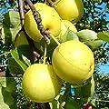 Grüner Garten Shop Nashi Naddel Pear, Asienbirne Apfelbirne Buschbaum 150-170 cm 10 Liter Topf, Unterlage: Sämling von Grüner Garten Shop - Du und dein Garten