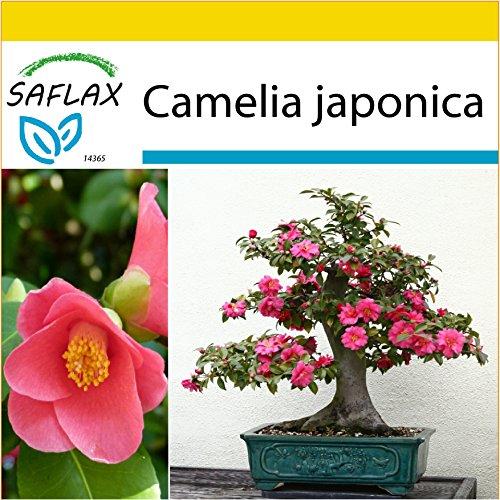 SAFLAX – Anzucht Set – Bonsai – Japanische Camelie – 4 Samen – Camelia japonica