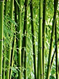 Artland Qualitätsbilder I Wandtattoo Wandsticker Wandaufkleber 45 x 60 cm Botanik Gräser Bambus Foto Grün C9TX Bambus II