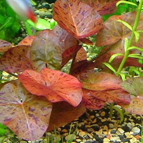 Roter Tiger-Lotus von Nymphea