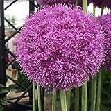 """5x Allium """"Giganteum"""" Mehrjähriger Riesenzierlauch mit Lila Blüten"""