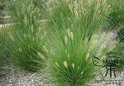 100pcs maintenant Bleu fétuque Seeds - (Festuca glauca) vivaces rustiques ornementaux belles graines d'herbe pour les planteurs de fleurs en pot