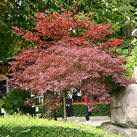 Acer palmatum Bloodgood - 1 arbre