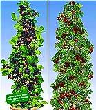 BALDUR-Garten Säulen-Beeren-Kollektion 2 Pflanzen Säulen-Brombeere Navaho Big&Early und 1 Pflanze Japanische Säulen-Himbeere Säulenobst winterhart