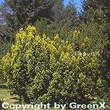 Gelbe Adlerschwingen Eibe 40-50cm - Taxus baccata Aureovariegata