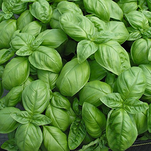 GENOVESE BASILIC GRAINES GASTRONOMIE INTENSE SCENTED 100 COUNT PKT.