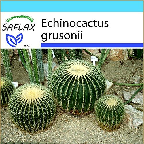 SAFLAX - Kit cadeau - Coussin de belle-mère - 40 graines - Echinocactus grusonii