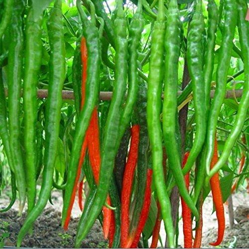 100 pezzi Perenni semi zenzero semi di ortaggi Zingiber officinale semi balcone frutta e verdura
