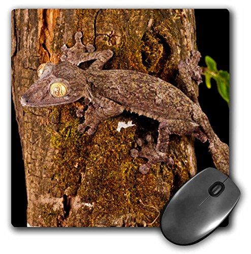 Danita Delimont - Lizards - Giant Leaf-tailed Gecko lizard, Madagascar - NA02 DNO0927 - David Northcott - MousePad (mp_140210_1) (Giant Gecko Leaf Tailed)