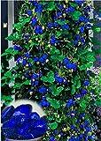 Qenci 50pcs Kletter Erdbeere Samen blaue&rote Erdbeere Saatgut,super große Erdbeere Pflanze Bio Obst,Bonsai Garten Strawberry Samen (blau)