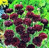 graines de centaurée Noire - centaureus cyanus black ball 5 grammes