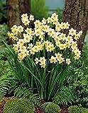 Willemse France 011081 Minnow Lot de 10 Plantes Mini-Narcisses Multicolore, 17 x 17 x 22 cm
