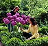 RIESEN ZIERLAUCH (Allium giganteum) - 50 Samen / Pack - winterharte Zierpflanze für den Garten - mehrjährig