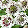 Lenzrose Double Ellen® White Spotted von Gärtner Pötschke bei Du und dein Garten