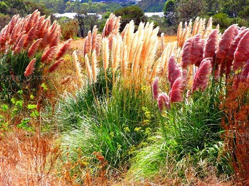 Shopmeeko 100 pz/borsa Blue Fescue Grass Bonsai (Festuca glauca) perenne hardy erba ornamentale così facile da coltivare erba fiore casa giardino: mix