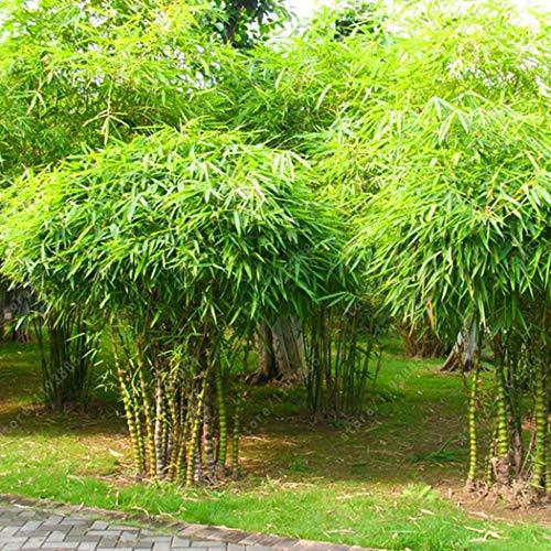 Bambussamen exotische Samen, schnellwüchsigsten Zimmerpflanzen, Buddhabauch bambus pflanzen sehr gut als Kübelpflanze oder Bonsai ()