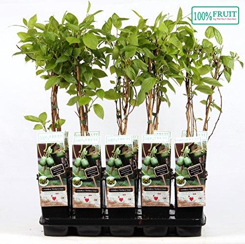 selbstbestäubende Mini-Kiwi Issai - Topf Ø 15 cm Actinidia arguta Kiwiberry Issai