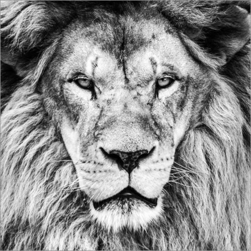 Posterlounge Acrylglasbild 30 x 30 cm: König Löwe - Schwarz Weiß von Editors Choice - Wandbild, Acryl Glasbild, Druck auf Acryl Glas Bild