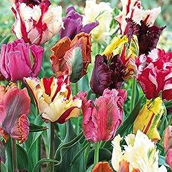 Humphreys Garden Tulip Tulipán Mixed Parrot x 30 Bulbs Bulbos de Flores
