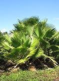 Seedeo® Washingtonia - Fächerpalme (Washingtonia robusta) 12 Samen für Seedeo® Washingtonia - Fächerpalme (Washingtonia robusta) 12 Samen