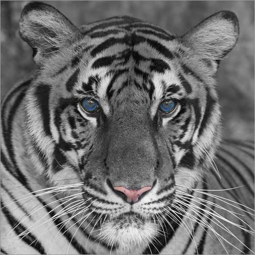Posterlounge Holzbild 30 x 30 cm: Tiger mit Farbakzenten von Editors Choice (White Ohren Tiger)