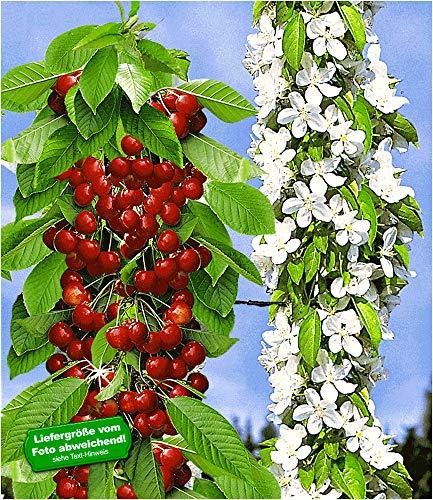 BALDUR-Garten Säulen-Süßkirschen 'Sylvia®', Kirschbaum 1 Pflanze Säulenobst