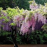 Yukio Samenhaus - Chinesischer Blauregen Wisteria sinensis Blumensamen, Ein winterharter Blütentraum starkwachsend Kletterpflanze