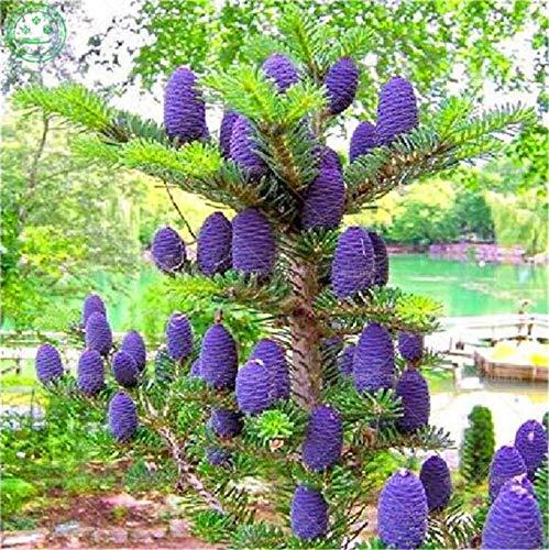AGROBITS Saat: BONSAIS 100pcs kor Tanne Abies Schöne Nordmannstanne Weihnachten Conifer Baum Bonsai Topfpflanzung für Hausgarten-Supplies