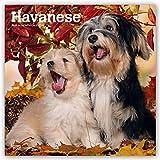 Havanese - Havaneser 2019 - 18-Monatskalender mit freier DogDays-App (Wall-Kalender)