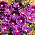 Gärtner Pötschke Regenbogen-Stockrose Halo Lavender von Gärtner Pötschke auf Du und dein Garten
