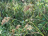 PLAT FIRM Germinazione I semi PLATFIRM-Wool Erba, 6' alti, Stagno Pianta 1000 semi Groco