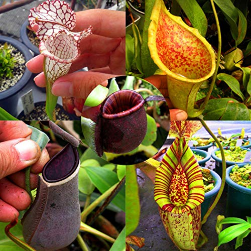 nulala 50 pz nepenthes semi di piante, nepenthes pianta carnivora mangiare zanzara insetto giardino fiori bonsai (semi di nepenthes a cinque colori misti)