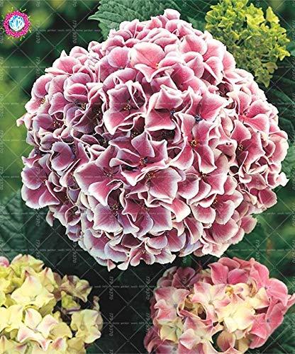 homely 10 pz/borsa fiore ortensia, giardino semi ortensia balcone fiore tasso di erba 97 facile da coltivare: 2