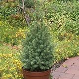 Zuckerhutfichte Picea glauca 100-110 cm