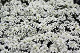 Schleifenblume (Iberis sempervirens Snow Cone 'Ibcom')