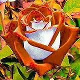 Edited Top Qualität Frisch Edelrosen Samen Saatgut Blumensamen Wohlriechend Rosenblumensamen Rarität Garten Blumen Rosen Samen Zimmerpflanze Außen Pflanze Regenbogen Rose Hausgarten Pflanzensamen (Orange)