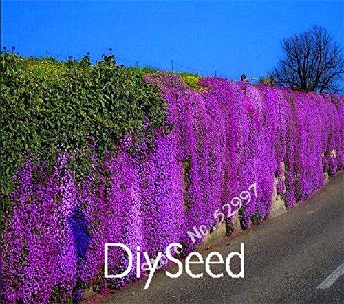 100 parti / pacchetto roccia cress, semi aubrieta cascade fiore viola, superb tappezzanti perenni per il giardino di casa
