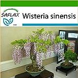 SAFLAX - Bonsai - Blauregen - 4 Samen - Mit Substrat - Wisteria sinensis