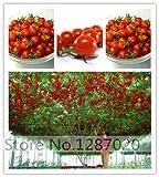 200 semillas de tomate grande gigante de tomate carne híbrido semillas Semillas NO-OGM vegetales...