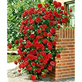 Rare Red Climbing Rose Plant Dark Red Color Perinnial Rose 1 Live Plant