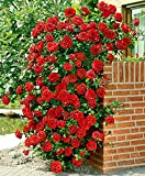 #4: Generic Rare Red Climbing Rose Plant Dark Red Color Perinnial Rose 1 Live Plant