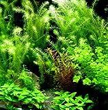 Aquarienpflanzen Sortiment 40-60 l Aquarium (5)